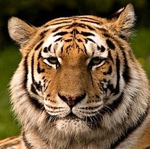 290px-Siberischer tiger de edit02